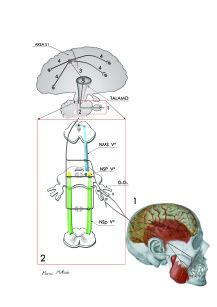 3. Tragitto che le afferenze provenienti dai recettori parodontali compiono per raggiungere la corteccia cosciente.