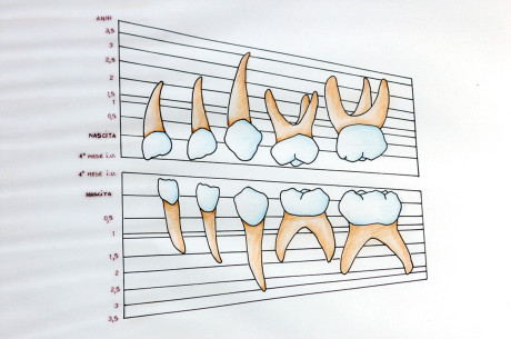 7. Figura indicante lo sviluppo dei denti decidui in relazione all'età dell'individuo.
