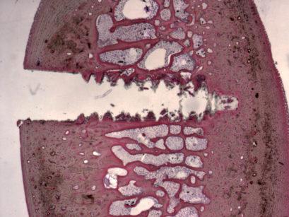 8. Sezione di costoletta bovina nella quale, prima dell'inserimento implantare, è stata misurata la densità ossea con l'opportuna sonda di misura