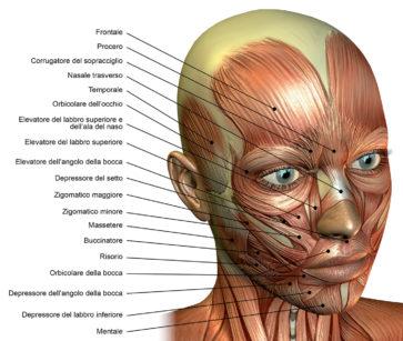 8. Rappresentazione anatomica dei principali muscoli del viso