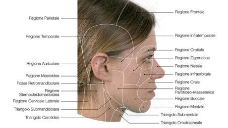 24-25. Le regioni anatomiche del volto in vista frontale e laterale