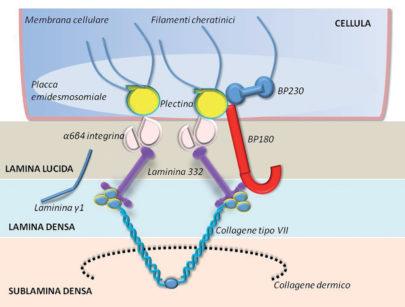 48. Complessità antigenica della placca emidesmosomiale.